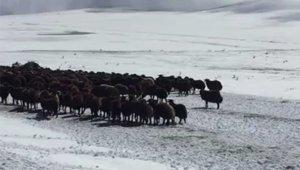Ardahan'da kar ve tipide mahsur kalan yaylacılar ve koyun sürüsü kurtarıldı