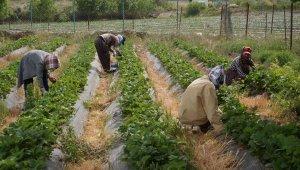 Marka haline gelen Sason çileğinde yılın son hasadına başlandı