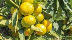 Satsuma mandalinanın ihracat yolculuğu 27 Ekim'de başlıyor