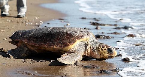 """Ergene: """"Deniz Kaplumbağalarını İnsanlar Saldırganlaştırıyor"""""""